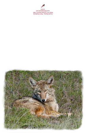 11-34_Coyote-Resting-2