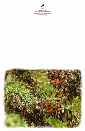 5858-2_monarch_butterflies
