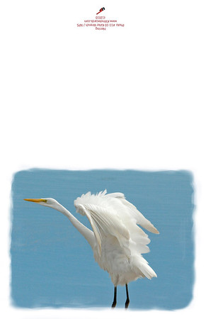 11-10_Flapping_White_Egret