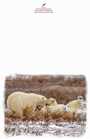 2973_Polar_Bears_Playing-Edit