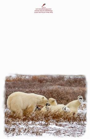 2973_Polar_Bears_Playing-Edit