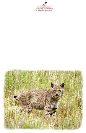 Bobcat #8627
