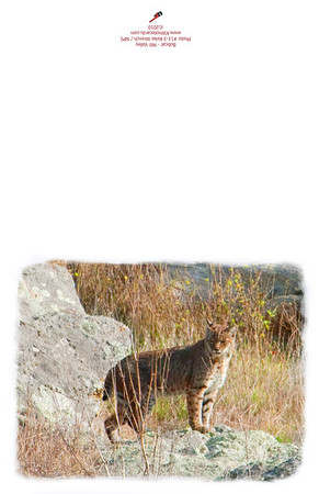 11-3_Bobcat