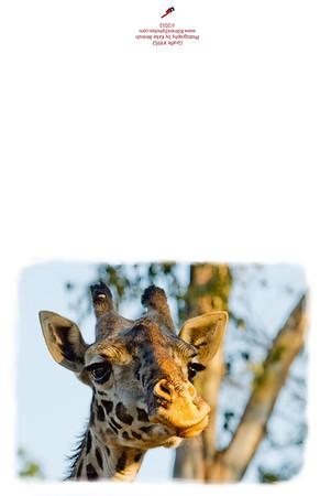8952_Giraffe