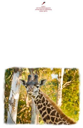 8928_Giraffe