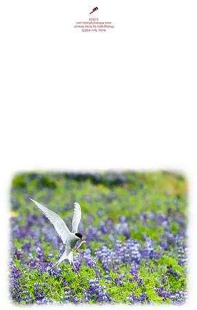 Arctic Tern-6870