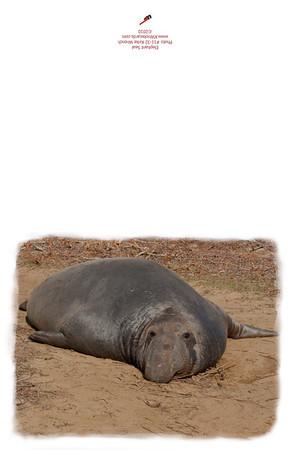 11-32_Elephant_Seal