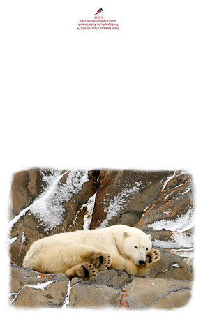 3174_Polar_bears_of_Churchill