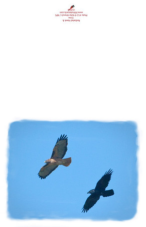 11-9_Red_Tail_Hawk_and_Crow