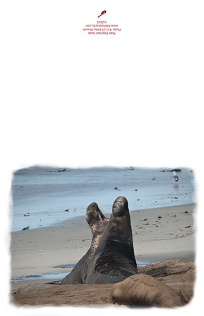 11-33_Male_Elephant_Seals