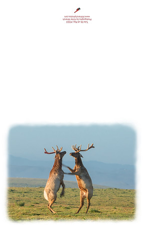 5022_tule_elk_at_Play