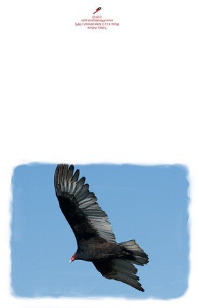 11-5_Turkey_Vulture