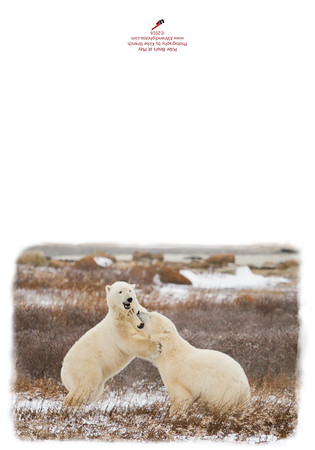 2970_Polar_Bears_at_Play-2