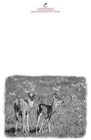 PORE-7828_BW_West_Marin_Deer
