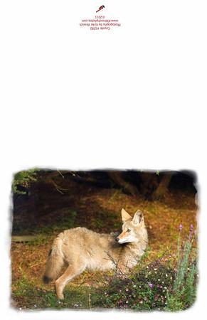 Coyote #1382