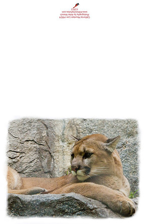 9024_California_Mountain_Lion