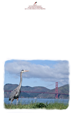 Great Blue Heron at Golden Gate