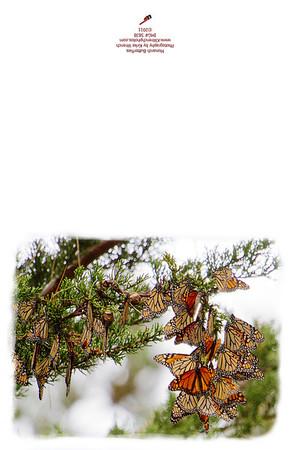 5838_Monarch_Butterfly