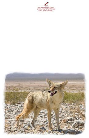 Coyote_4031