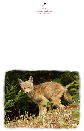 2222_Coyote_pup