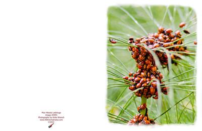 0991_Ladybugs
