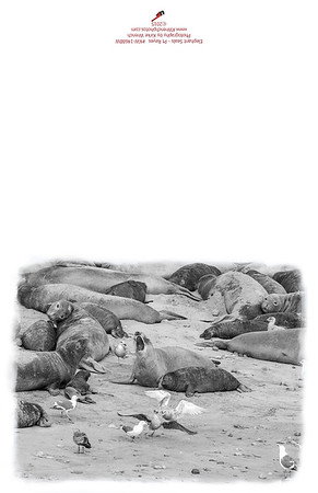 KW-1468_Pt_Reyes_Elephant_Seals