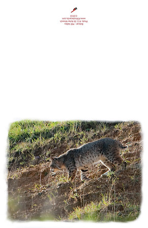 11-36_Bobcat_on_the_Move-2