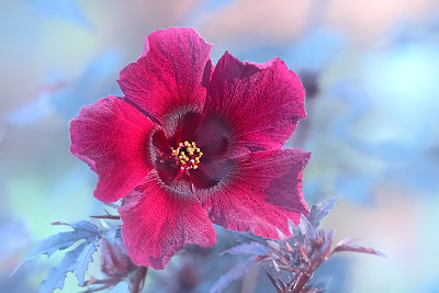 Red-Leaf Hibiscus (Hibiscus acetosella)(F87)