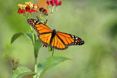 (A89) Monarch Butterfly