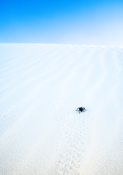 beetle-in-white-sands