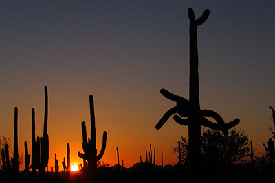 Saguaro National Park, Tucson, Arizona, at sunset.  Card #204