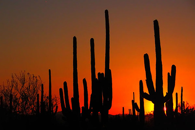 Saguaro National Park, Tucson, Arizona, at sunset.  Card 205