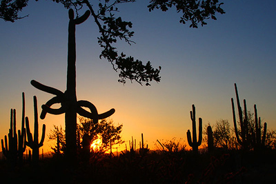 Saguaro National Park, Tucson, Arizona, at sunset.  Card # 206
