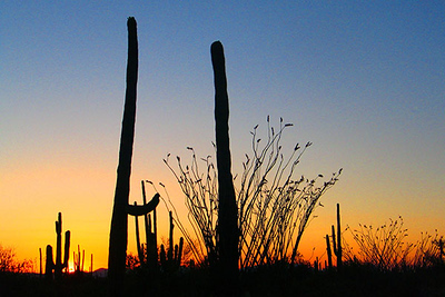 Saguaro National Park, Tuscon, Arizona, at sunset.  Card #207