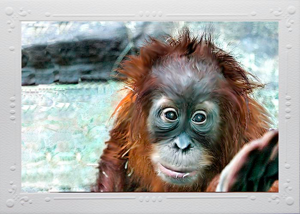 "Fourteen month baby girl Orangatang ""Ruthie"" loves to play with visitors at the St. Louis Zoo.  Card #127"