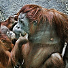 "Fourteen month baby girl ""Ruthie"" orangatang gives her mom a big kiss at the St. Louis Zoo.  Card #128"