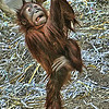 "Fourteen Month Old baby girl orangatang ""Ruthie"" performing for the visitors at the St. Louis Zoo.  Card #129"