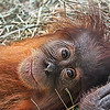 """Fourteen month baby girl """"Ruthie"""" orangatang, making eyes at the visitors at the St. Louis Zoo.  Card #125"""
