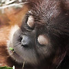 "Fourteen month baby girl ""Ruthie"" orangatang dozing and munching on some grass at the St. Louis Zoo.  Card # 126"