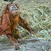 """Fourteen month baby girl """"Ruthie"""" orangatang, loves to play to the crowd at the St. Louis Zoo.  Card #258"""