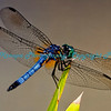 Dragonfly at Tower Grove Park, St. Louis, MO.  Photo #376