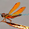 Orange Dragonfly at Tower Grove Park, St. Louis, MO.  Photo #377