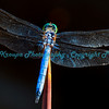 Blue tail dragonfly at Missouri Botanical Garden, St. Louis, MO.  Photo #383