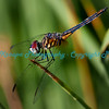 Red Eyed Dragonfly at Tower Grove Park, St. Louis, MO.  Photo #379