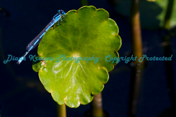 Damselfly at Missouri botanical Garden.  Photo #D800