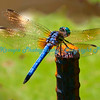 Blue Tail Dragonfly at tower Grove Park, St. Louis, MO.  Photo #380