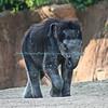 Asian Elephant, Baby Jade, St. Louis Zoo.  Photo #BE500