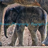 Asian Elephant, Baby Maliha, St. Louis Zoo.  Photo #BE506