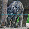 Asian Elephant, Baby Maliha, St. Louis Zoo.  Photo #BE507