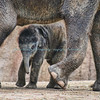 Asian Elephant, Baby Maliha, St. Louis Zoo.  Photo#BE510